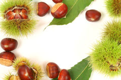 Chestnuts frame. Frame of fresh chestnuts in capsules and leaves on white background Royalty Free Stock Images