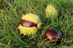 Chestnuts - fruits horse chestnut Royalty Free Stock Photos