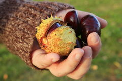 Chestnuts - fruits horse chestnut Stock Image