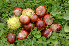 Chestnuts in grass Royalty Free Stock Photography
