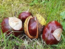 chestnuts on the grass royalty free stock photos