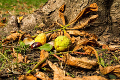 Chestnuts in the grass Royalty Free Stock Photos