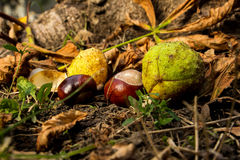 Chestnuts in the grass Stock Photo