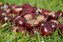 Chestnuts on green grass Royalty Free Stock Photos