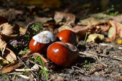 Chestnuts on ground Royalty Free Stock Photography