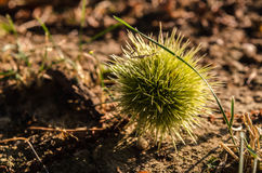 Chestnuts on the ground Stock Photography