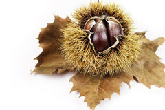 Chestnuts. Groups of chestnut nuts on white close up Stock Photography