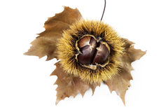 Chestnuts. Groups of chestnut nuts on white close up Stock Images