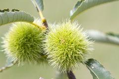 Chestnuts growing on the tree Royalty Free Stock Photography