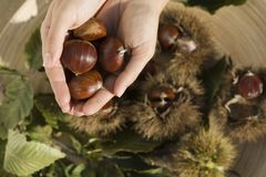 Chestnuts on a hand Stock Photography
