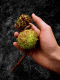 Chestnuts in hand Royalty Free Stock Photo