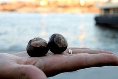 Chestnuts on hand. In the sight of the sea royalty free stock images