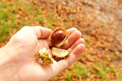 Chestnuts in hand Royalty Free Stock Photos