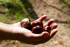 Chestnuts in a hand Royalty Free Stock Photography