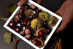 Chestnuts in Handheld Tray. Various Chestnuts and Broken Capsules in Handheld White Tray Royalty Free Stock Photo