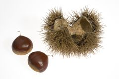 Chestnuts with husk. Chestnuts still in their husk with leaves Royalty Free Stock Image