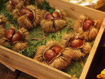 Chestnuts in husk. Chestnuts are glossy brown nuts that may be roasted and eaten Royalty Free Stock Image