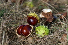 Chestnuts. In husk, on the ground, autumn time. Fall background Royalty Free Stock Photography