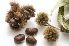 Chestnuts. In the husk and isolated on white Royalty Free Stock Photo