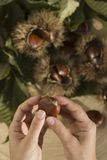 Chestnuts with husks Royalty Free Stock Photo