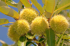 Free Chestnuts I Royalty Free Stock Image - 19739756