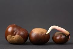 Chestnuts In A Line