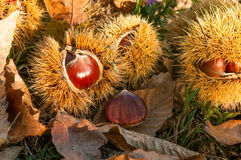 Chestnuts inside husks. With brown autumn leaves Royalty Free Stock Photos