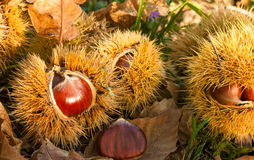 Chestnuts inside husks. With brown autumn leaves Royalty Free Stock Images