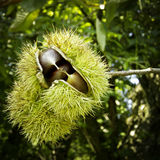 Chestnuts inside their spiky capsule Stock Image