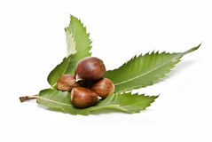 Chestnuts on its leaf. Some chestnuts on one of its leaves isolated on white background royalty free stock photo