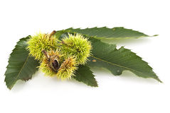 Chestnuts on leaf Royalty Free Stock Photo