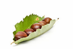Chestnuts into a leaf. Some chestnuts on one of its leaves isolated on white background royalty free stock photo