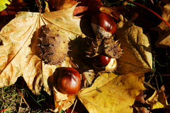 Chestnuts on leafs in autumn Royalty Free Stock Images