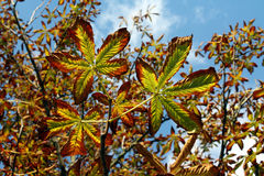 Chestnuts leaves in autumn. Bright chestnuts leaves in autumn Royalty Free Stock Images
