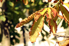 Chestnuts leaves in autumn. Bright chestnuts leaves in autumn Stock Photography