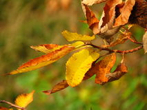 Chestnuts leaves in autumn Stock Images