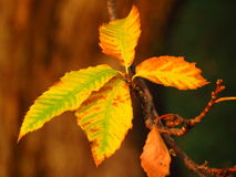 Chestnuts leaves in autumn Royalty Free Stock Photography