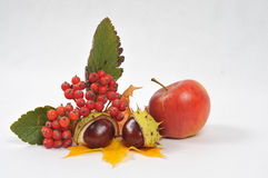 Chestnuts and leaves, fall is coming. Autumn rowan tree leaves, apple and chestnuts - isolated stock photos