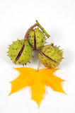 Chestnuts and leaves, fall is coming. Image of three conkers with maple leaf Royalty Free Stock Images