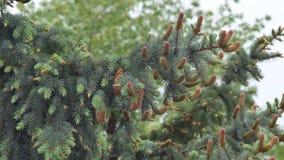 Chestnut flower chestnut on a green background stock video footage