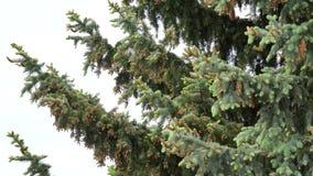Chestnut flower chestnut on a green background stock video