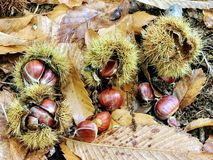 Chestnuts lying on the ground in forest stock photo