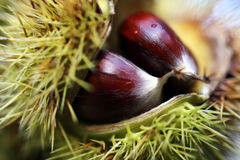 Chestnuts Macro. Chestnuts closeup outdoor in autumn Royalty Free Stock Images