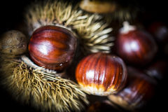 Chestnuts. Macro image of Chestnuts bursting from there case stock image