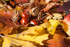 Chestnuts on maple leaves Royalty Free Stock Images