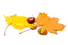 Chestnuts and maple leaves Stock Image