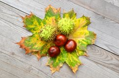 Chestnuts with maple leaves Stock Photos