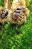 Chestnuts on the moss Stock Photography