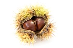 Chestnuts nestled in the husk isolated on white. A burr from a chestnut tree containing chestnuts Stock Image