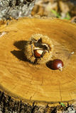 Chestnuts in the oak. A good chestnuts in the wood Stock Photo